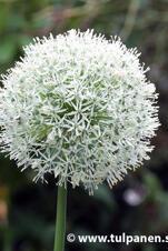 """Allium """"Mount Everest"""""""
