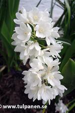 Porslinshyacint - Puschkinia libanotica Alba