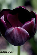 Queen of Night  - Tulipa