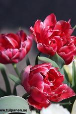 Storpack: Mur: Willemsoord - Tulipa