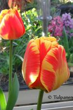Storpack: Banja Luca - Tulipa
