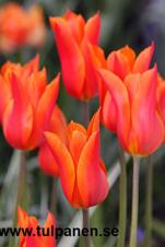 Storpack: Ballerina - Tulipa
