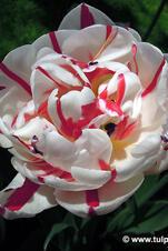 Carnaval de Nice  - Tulipa