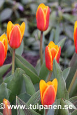 Storpack: Early Harvest - Tulipa