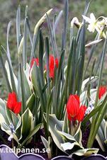 Storpack: Praestans Unicum - Tulipa