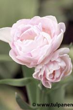 Angelique - Tulipa