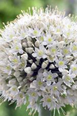 """Allium """"White Giant"""""""