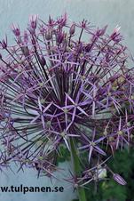"""Allium """"Christophii"""""""