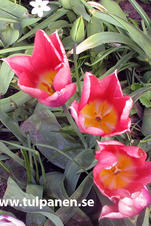 Neper - Tulipa
