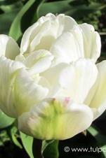 Mount Tacoma  - Tulipa