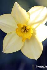 Stella - Narcissus