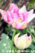Pompadour - Tulipa