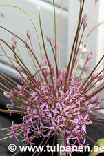 "Allium ""Schubertii"""