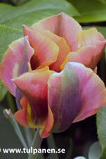 Artist - Tulipa