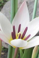 "Clusiana ""Lady Jane"" - Tulipa"