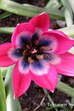 Little Beauty - Tulipa