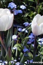 Stockpack: White Marvel - Tulipa
