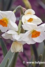 """Tazetta """"Geranium"""" - Narcissus"""