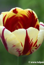 Grande Perfection - Tulipa