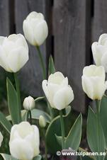 Storpack - Tulipa Purissima Design