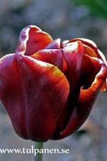 Abu Hassan - Tulipa