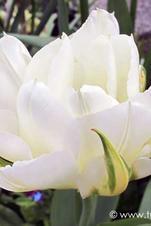 Exotic Emperor - Tulipa
