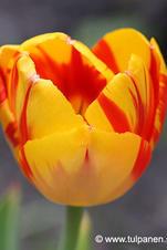 Banja Luca - Tulipa