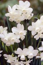 Petrel - Narcissus Triandrus