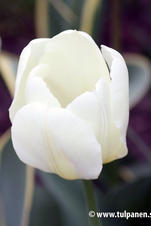 Purissima Design - Tulipa