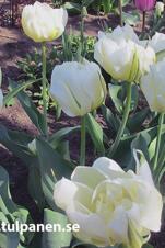 Storpack: Exotic Emperor - Tulipa